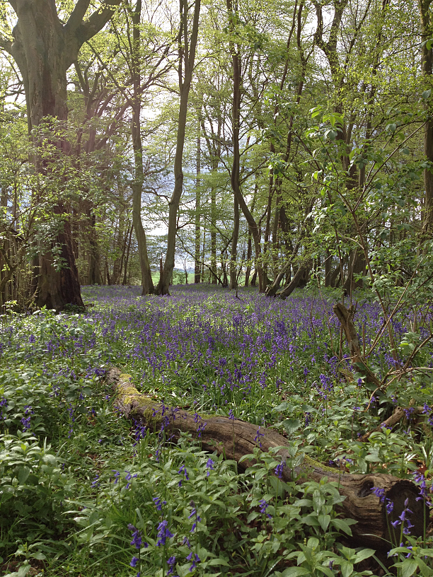 Bluebells in 'Markhams' - one of our ancient woodlands